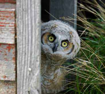 Teaching Homophones: Is this owl peaking or peeking?